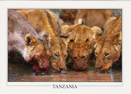 Pride of Lions at a watering hole